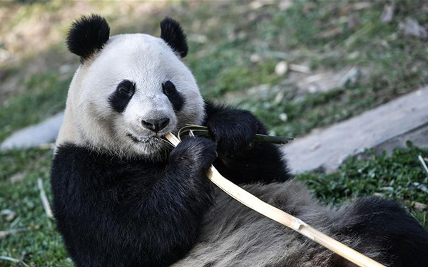 Panda couple heading to Finland in 15-year research agreement